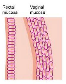 Rectal and vaginal mucosa photo
